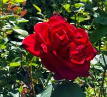 The Health & Beauty Benefits of Roses preview